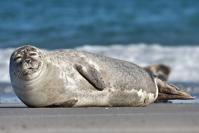 zeehonden gedood