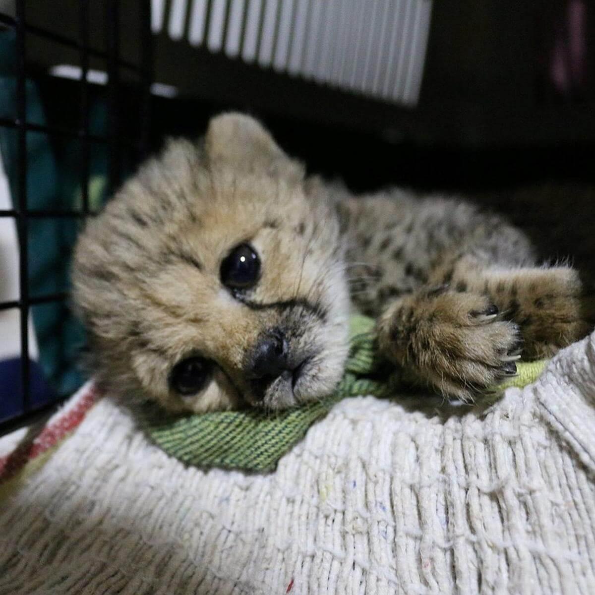 cheetawelpen