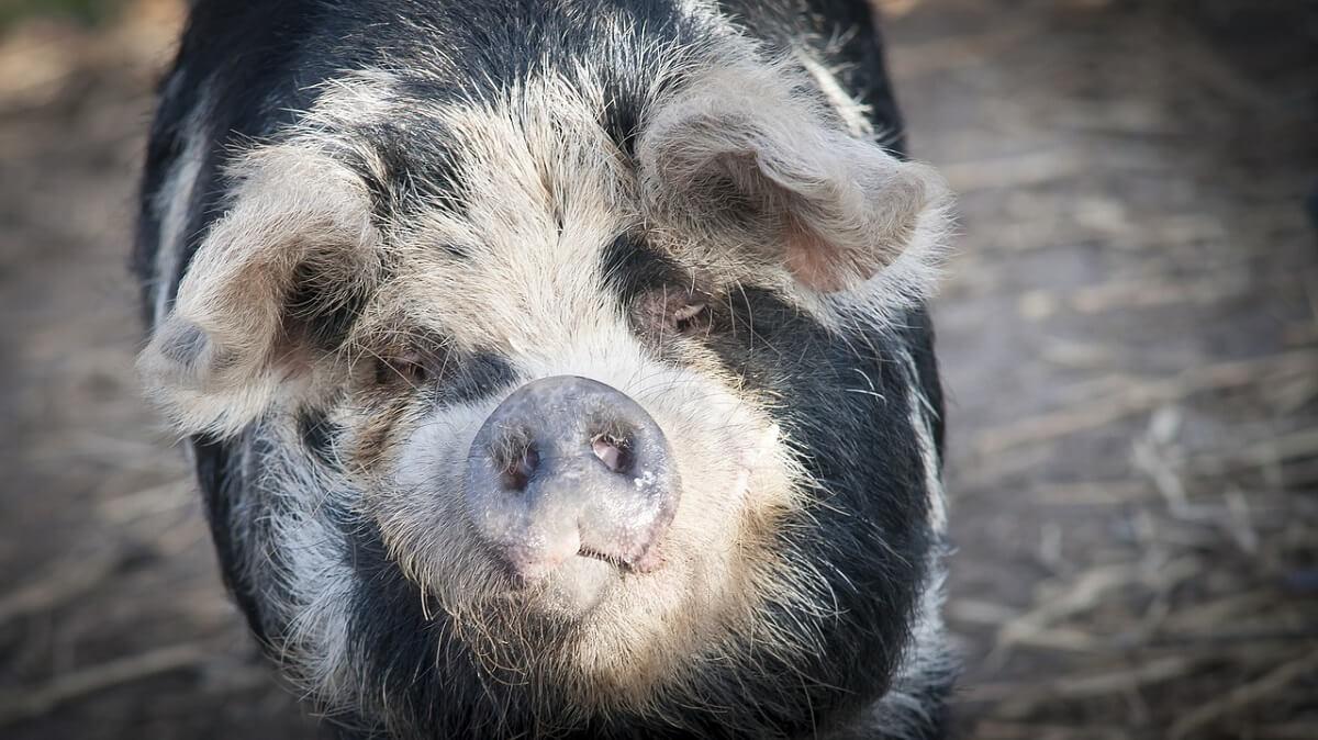 Varkens nog regelmatig bij bewustzijn geslacht en gekookt