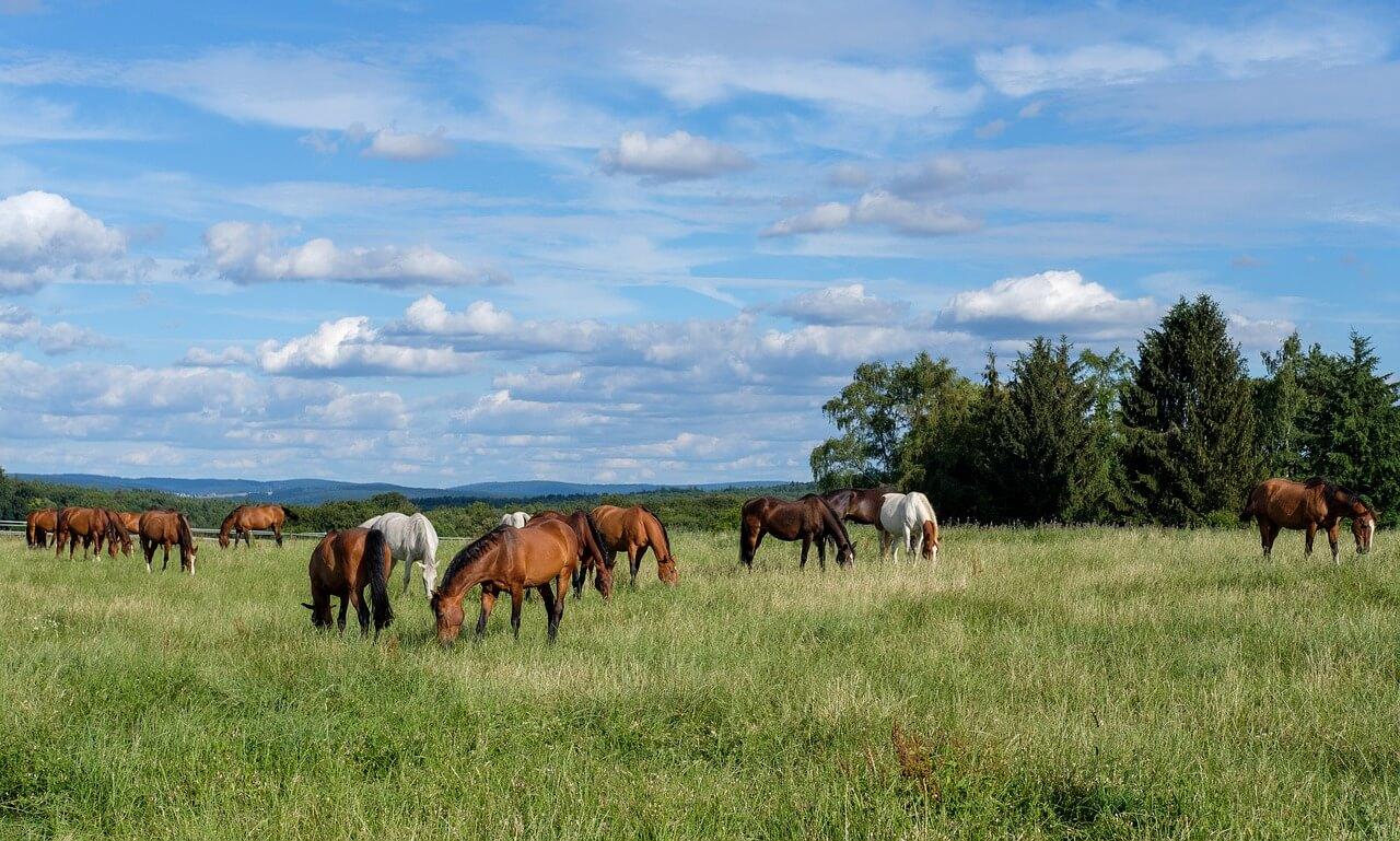 Eenzame paarden in de wei