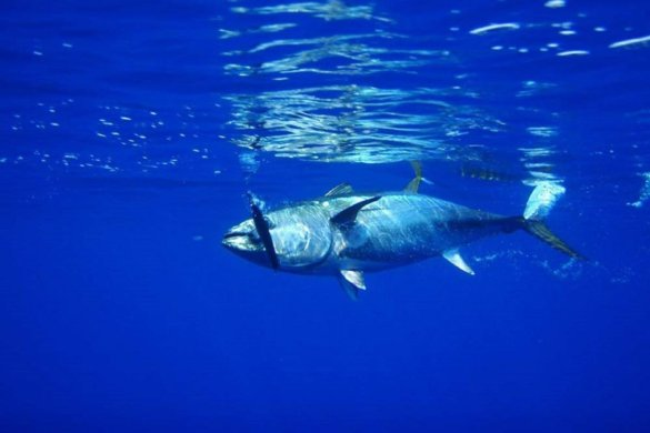 tonijnen
