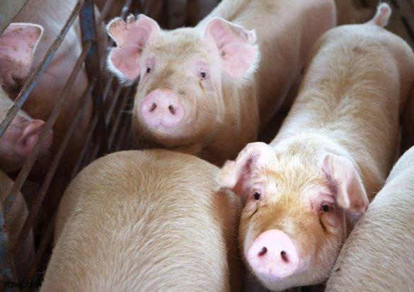 varkenssector