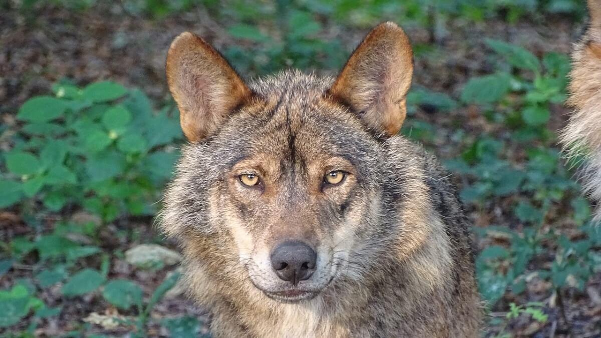 wolvin Naya