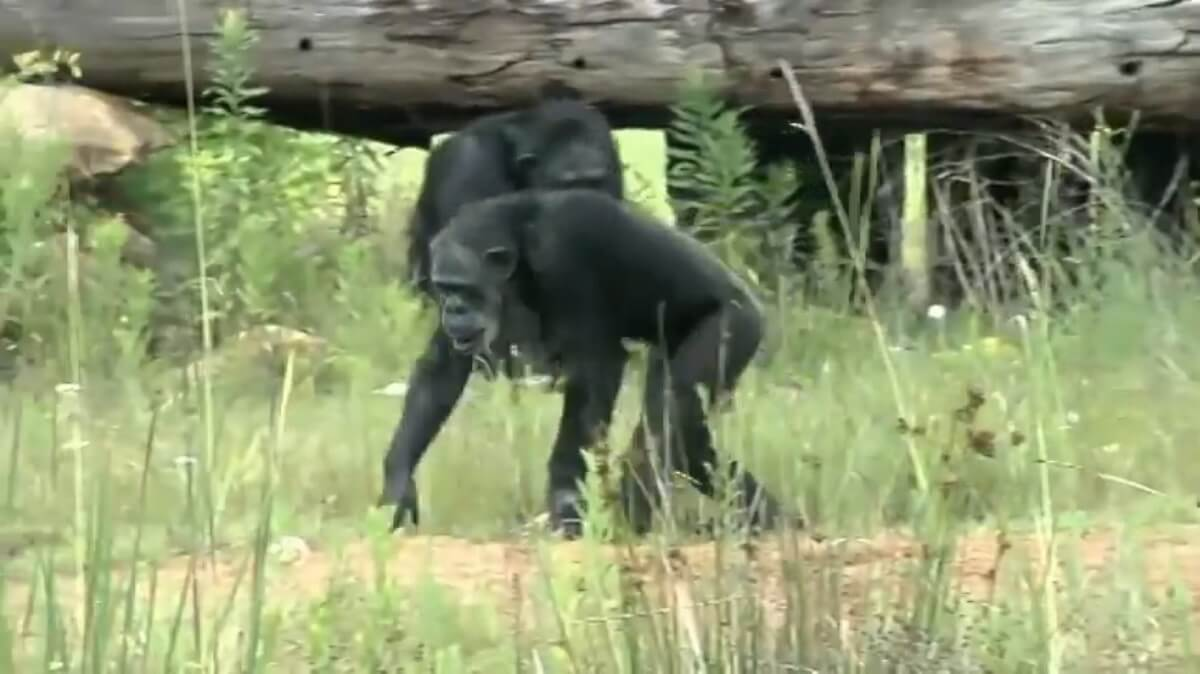 44 chimpansees