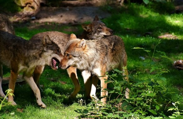 jonge wolven