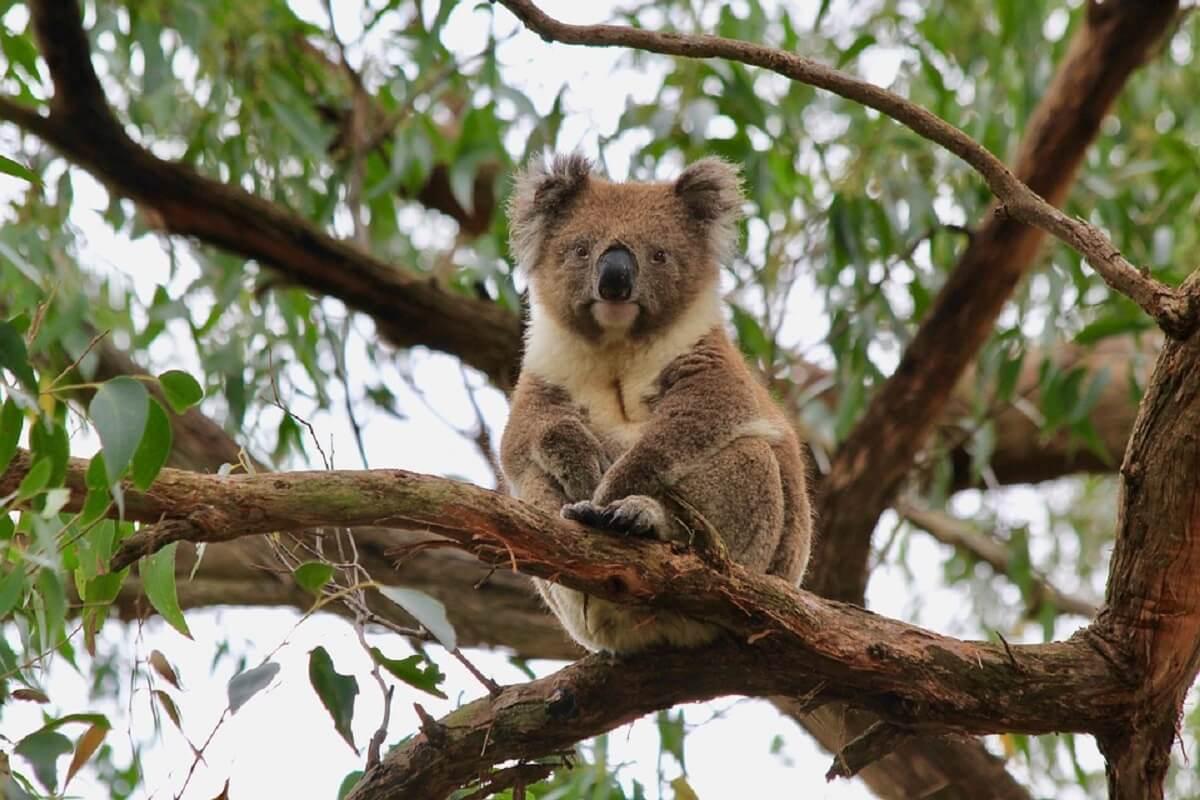 honderden koala's verbrand