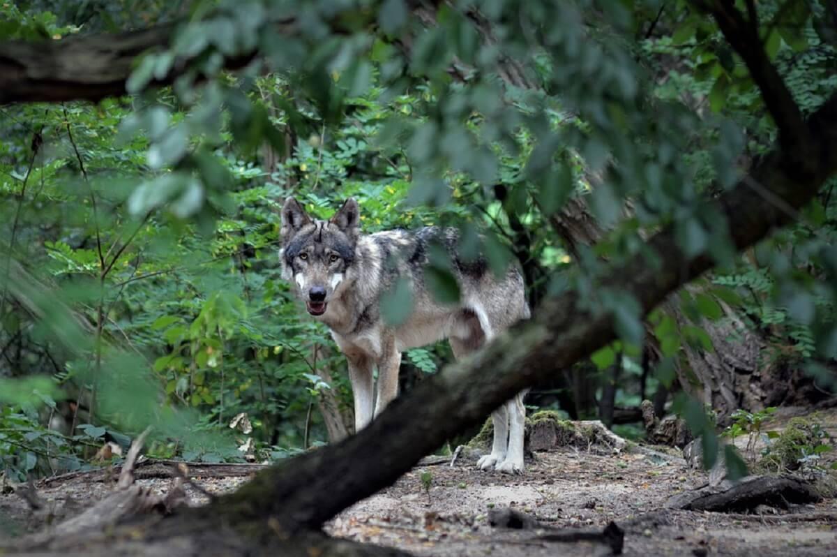Drie wolven van de radar, mogelijk gestroopt