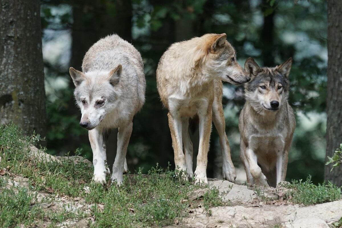 wolvenlevens