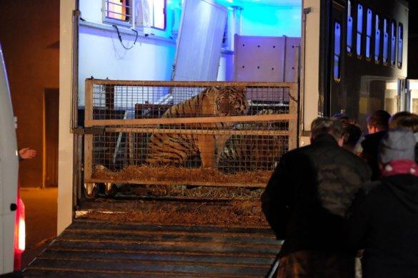 Reddingsactie voor tijgers op horrortransport naar Rusland