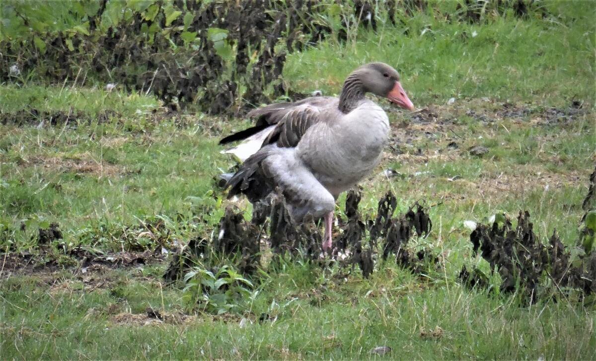 ganzenjacht bij Reeuwijk