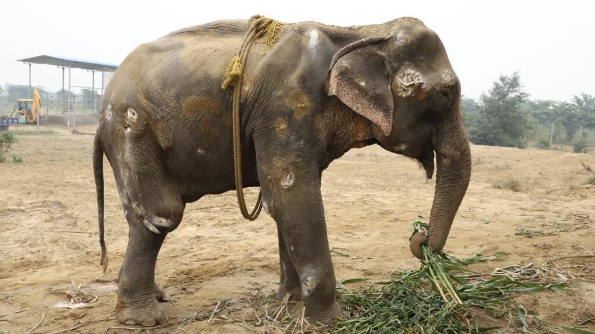 olifant Bella