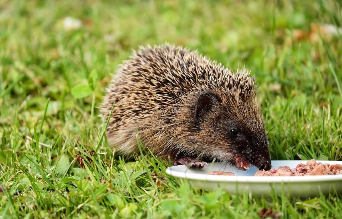 Schotse egels lijden massaal honger