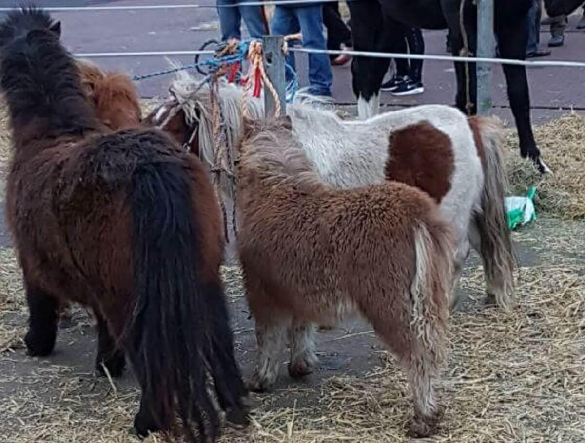 Paardenmarkt Goor 2017