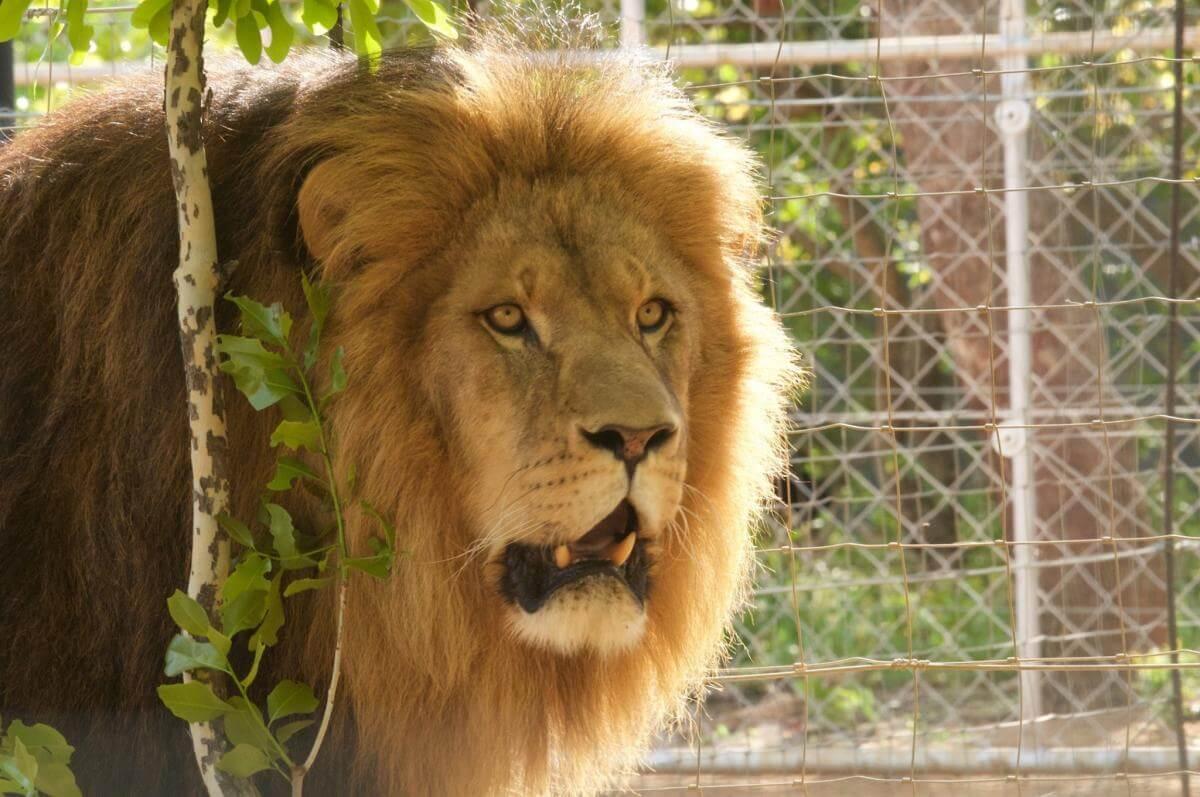 leeuwen verhuisd