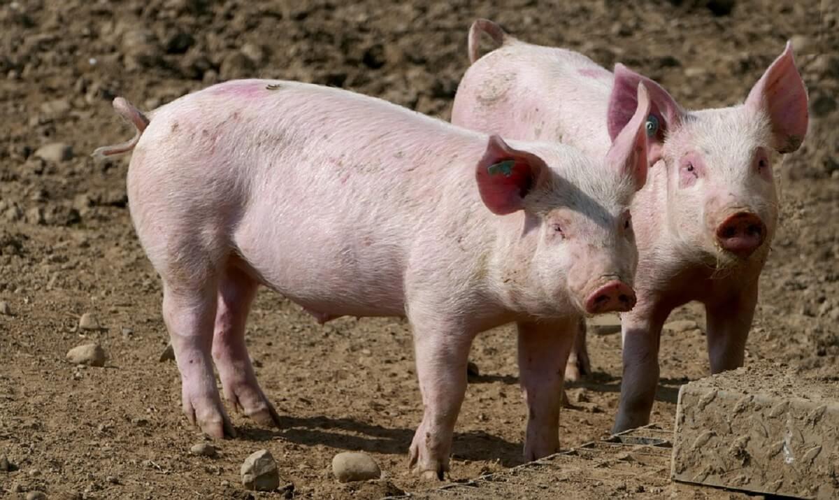 47.000 varkens