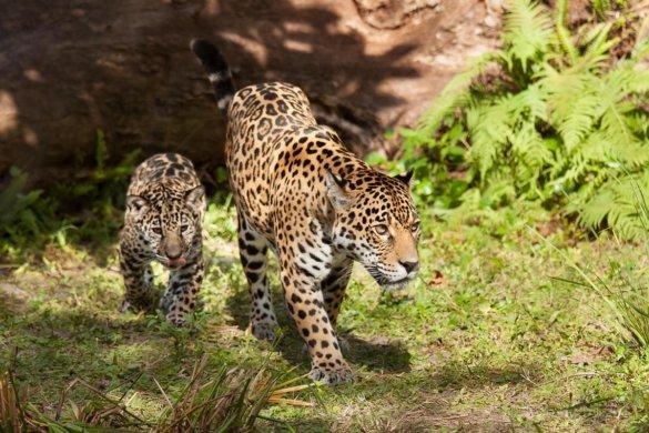 vissende jaguar