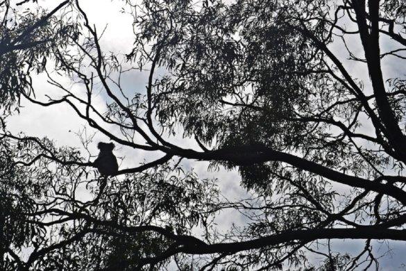 8000 koala's slachtoffer bosbranden Australië