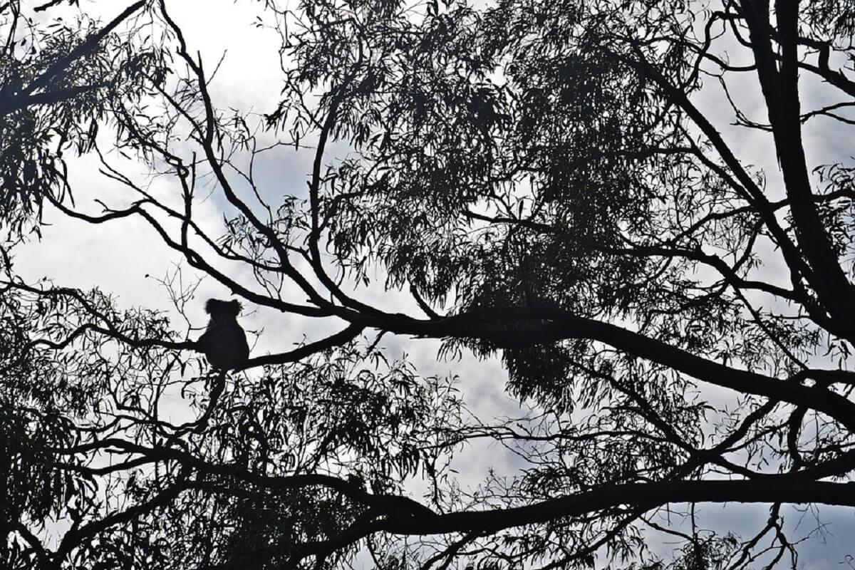 8000 koala's