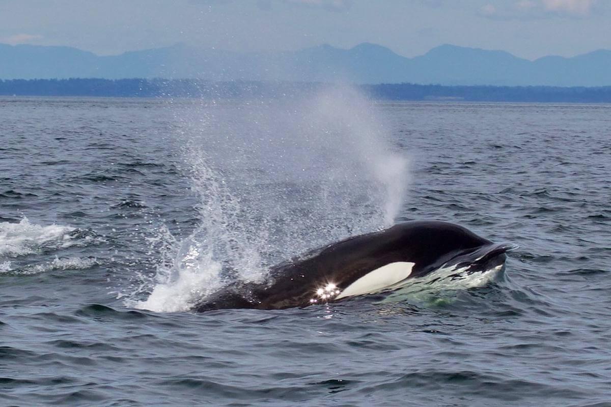 incidenten tussen orka's en boten