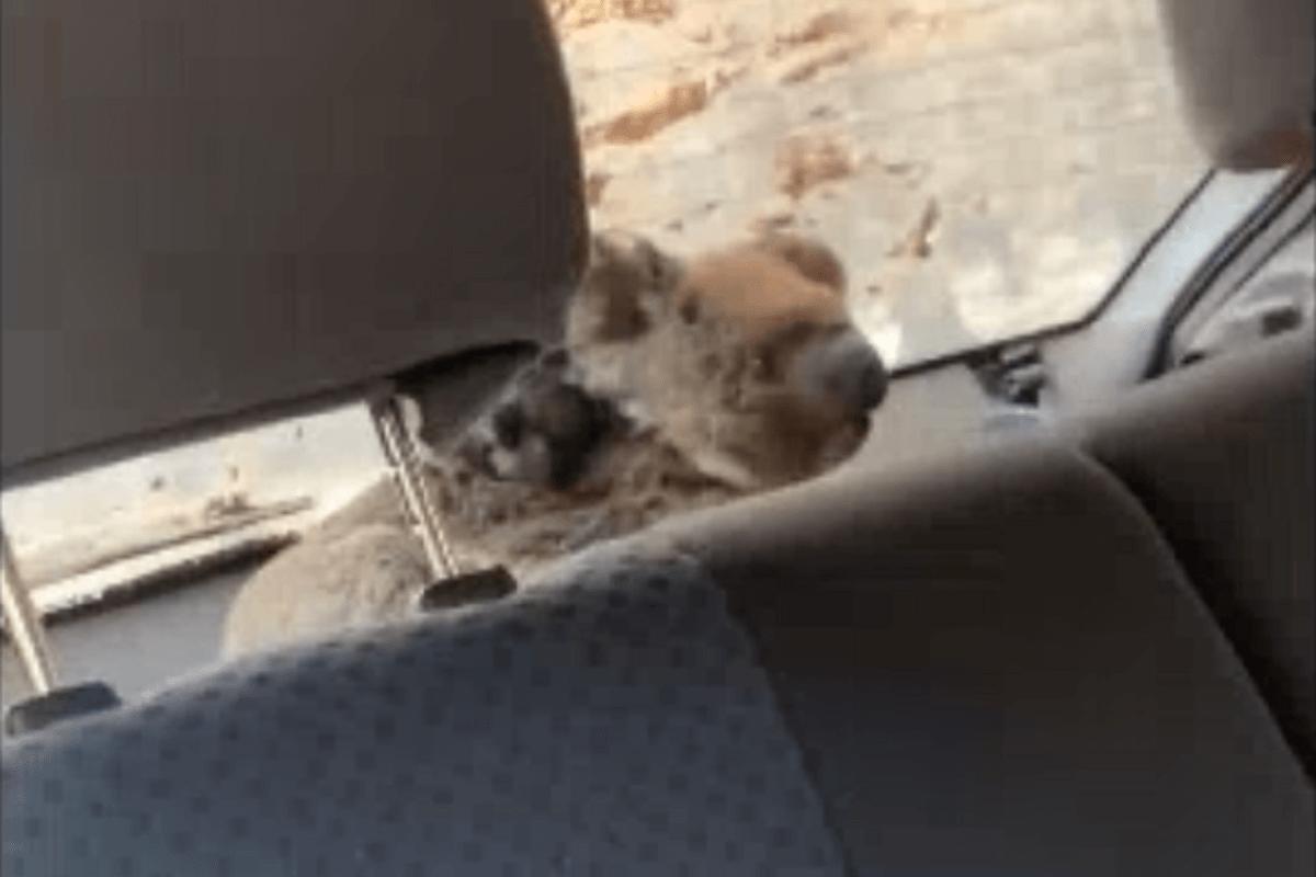 Australische jongens redden koala's