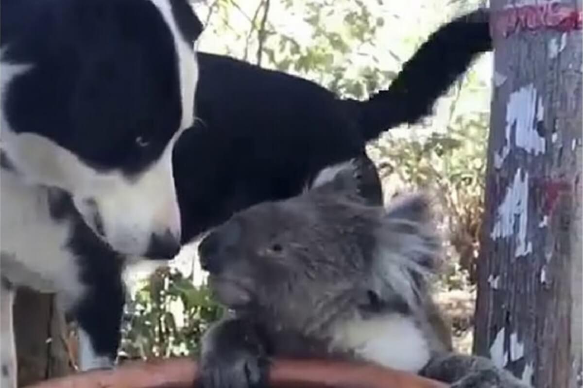 hond Rusty en koala Quasi drinken samen water