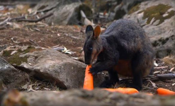 Hongerige kangoeroes krijgen wortels en zoete aardappels