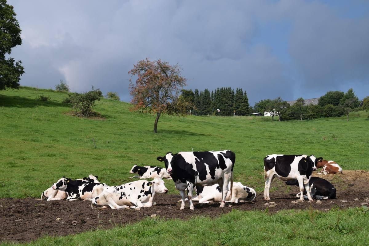 Gedwongen lockdown koeien vermindert emotioneel welzijn