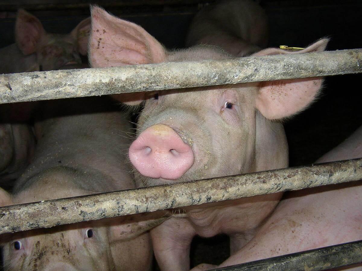 varkens in de vee-industrie