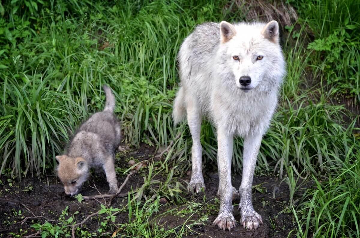 wolven spelen met mensen