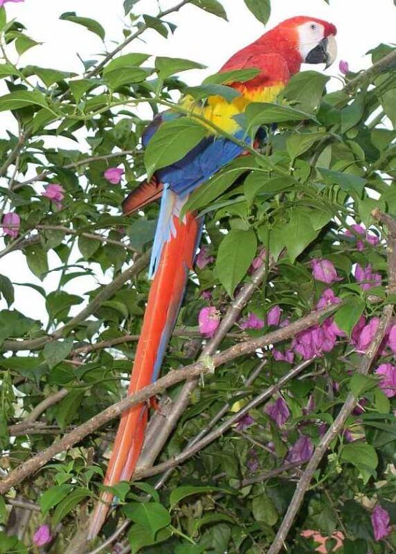 geverfde vogels