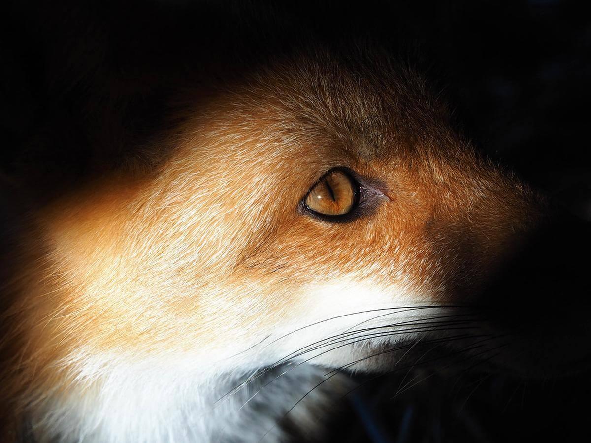 moederloze vos