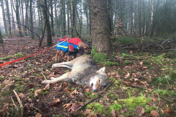 aangereden jonge wolf Epe