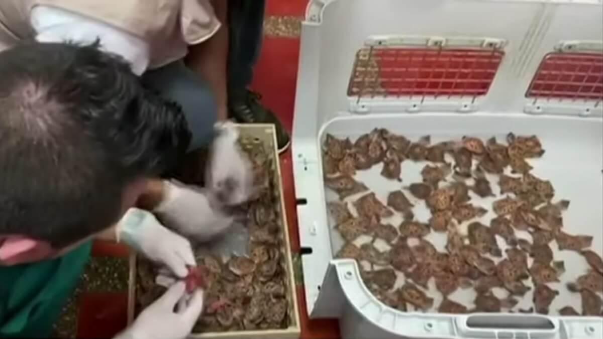 babyschildpadden onderschept