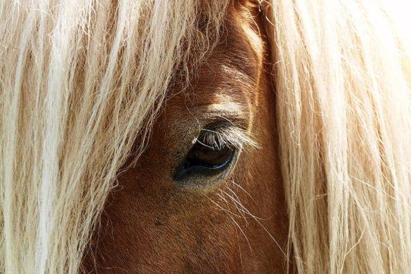 Afrikaanse paardenpest