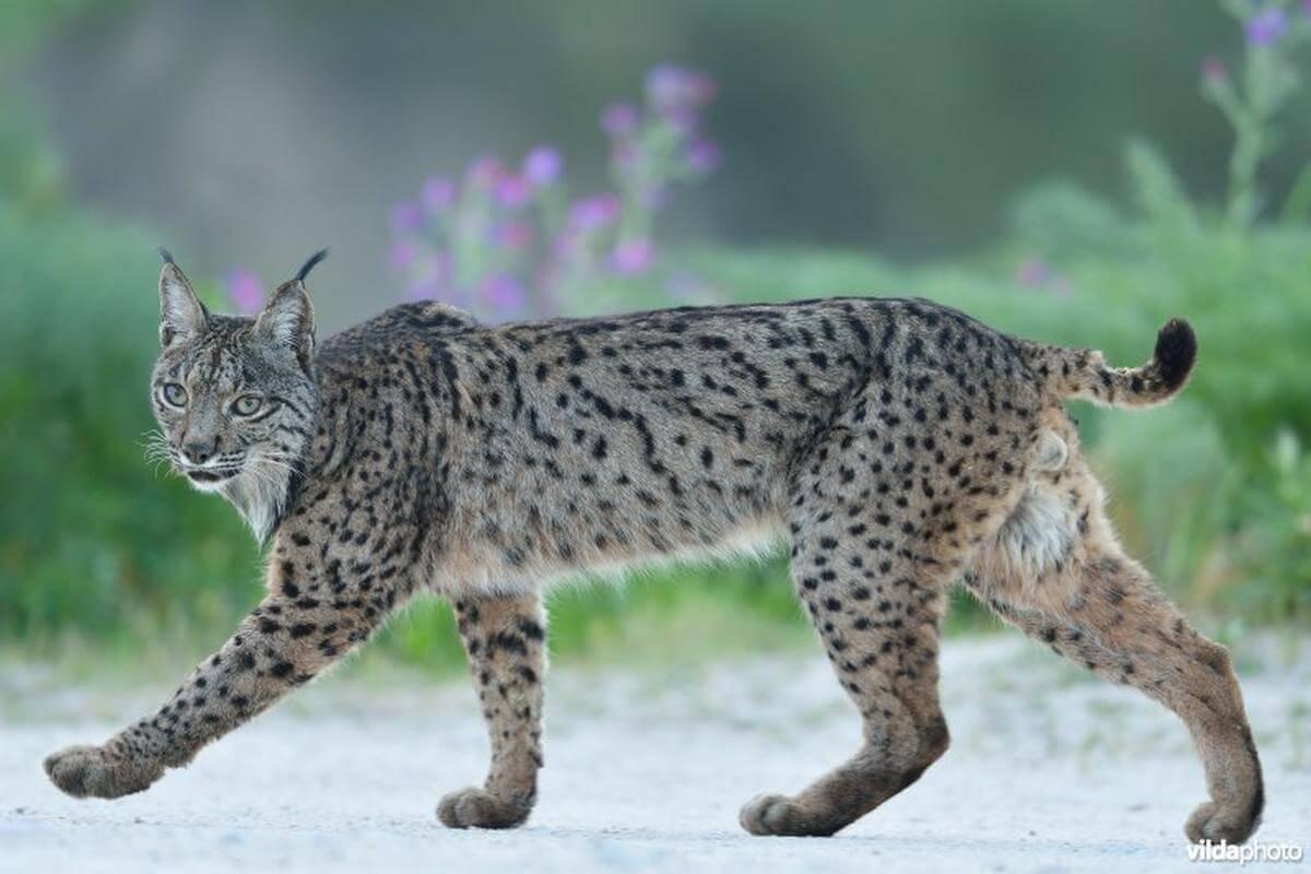 populatie lynxen