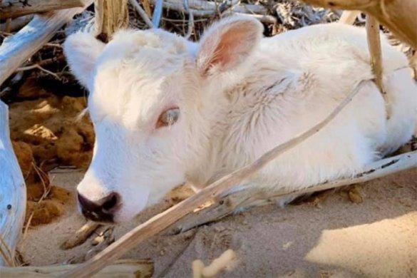 kalf van zwangere koe Dori