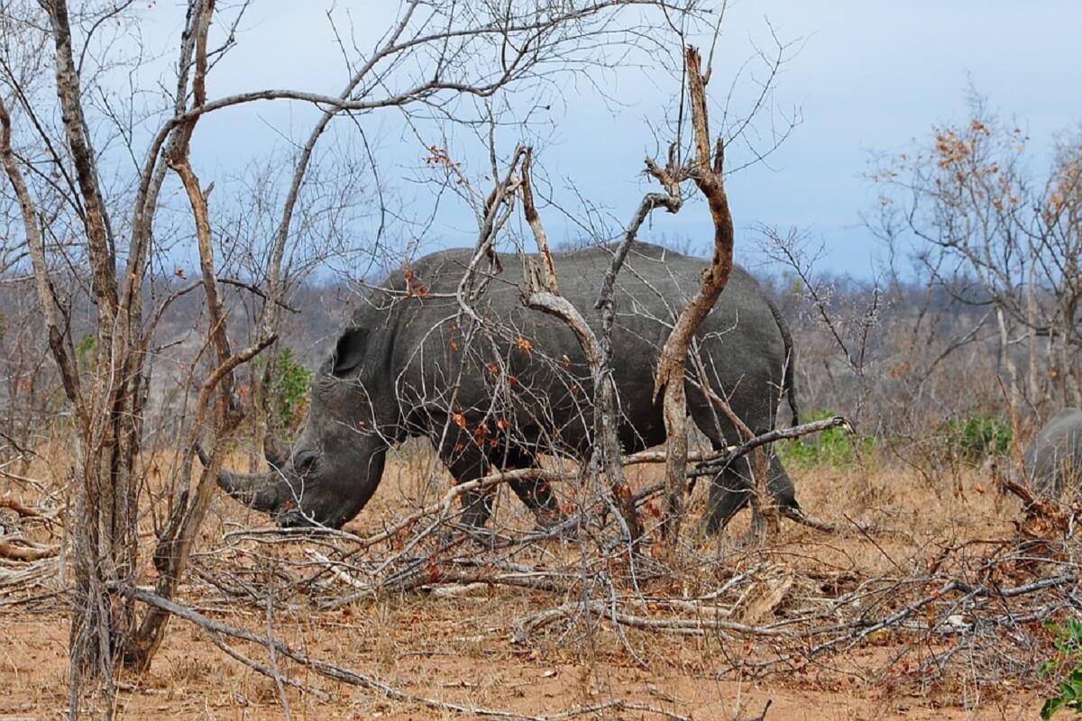 Vier neushoornstropers gearresteerd in Zuid-Afrika
