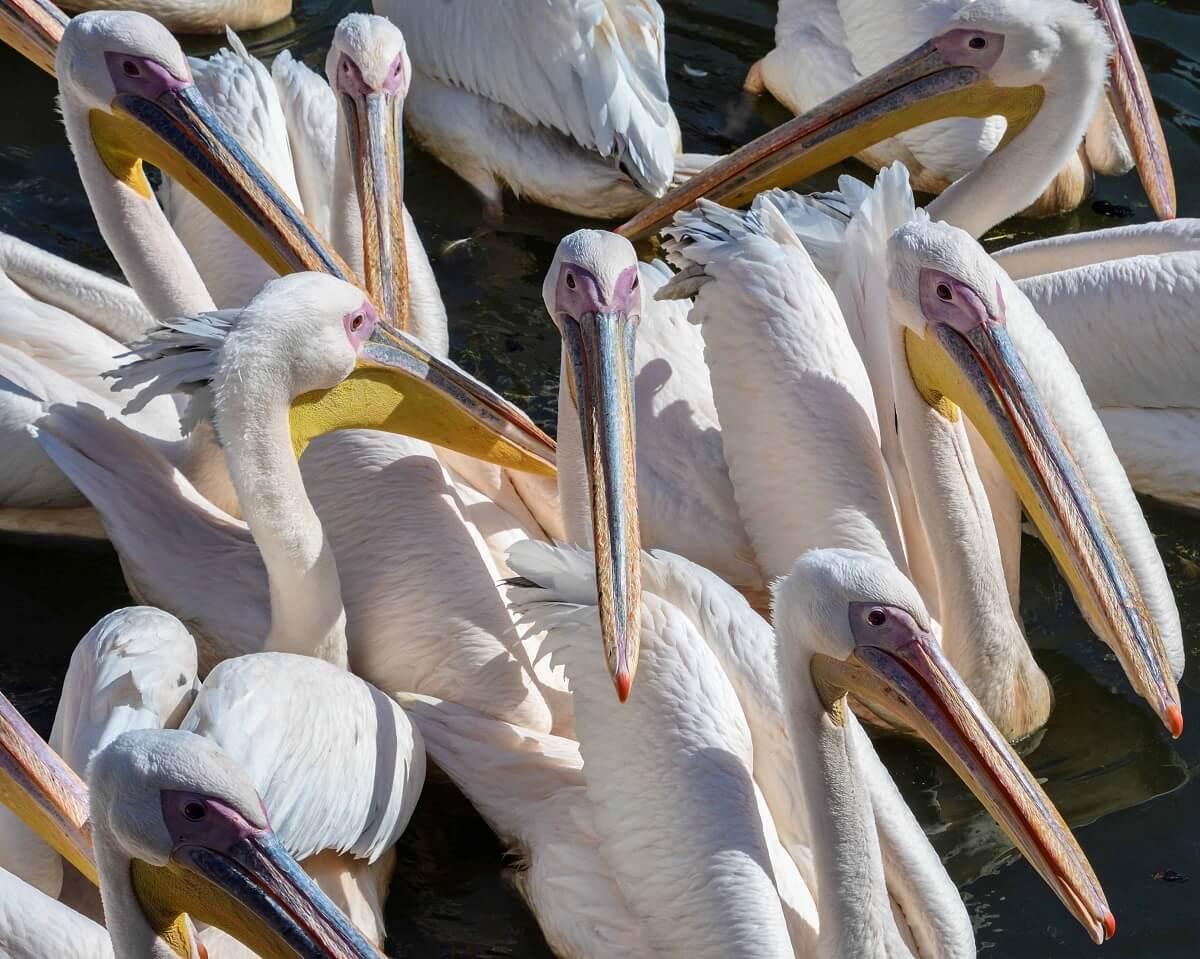 Geredde pelikaan krijgt hulp van soortgenoten