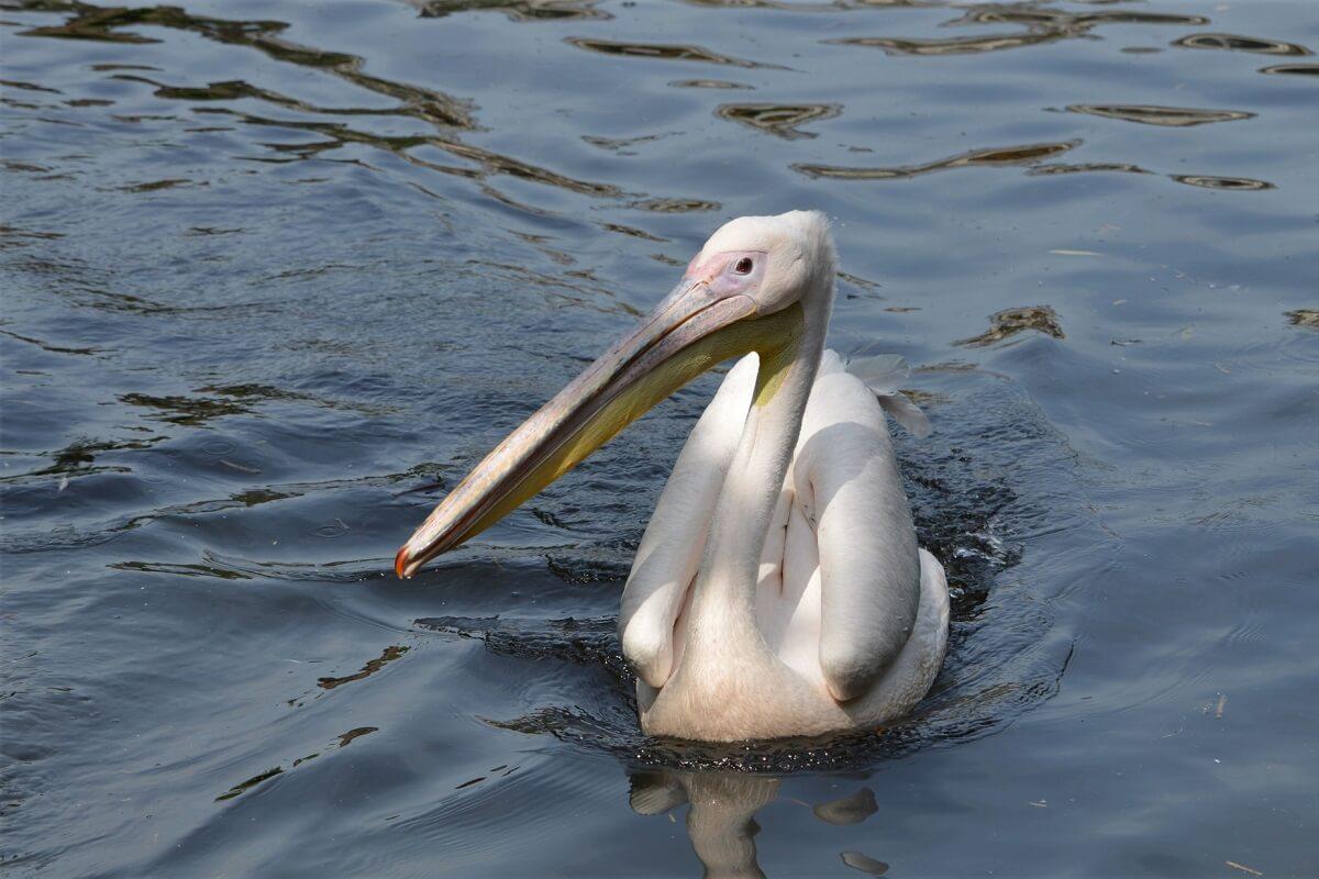 geredde pelikaan