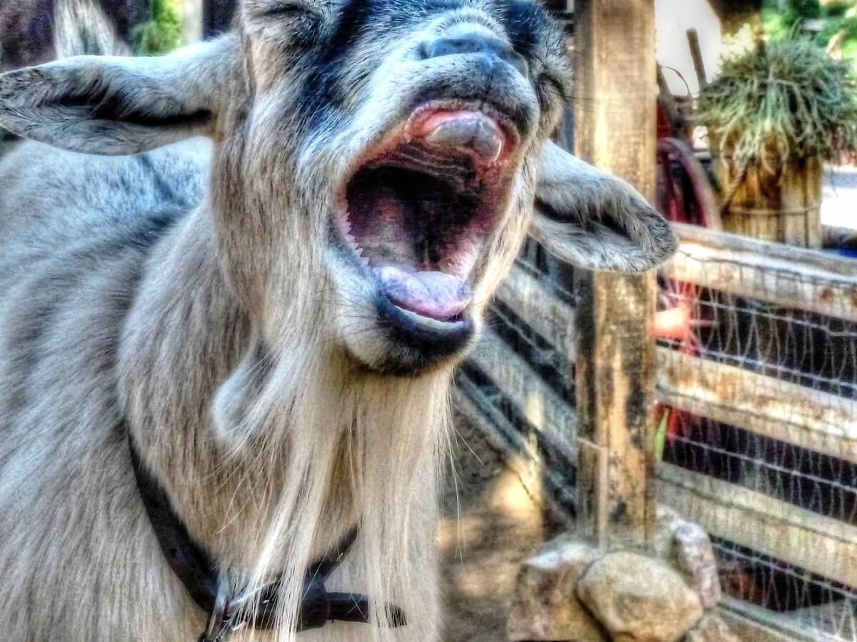 geiten herkennen emoties in gemekker van soortgenoten
