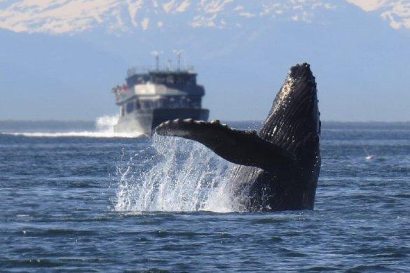 Steeds meer aanvaringen tussen walvissen en schepen