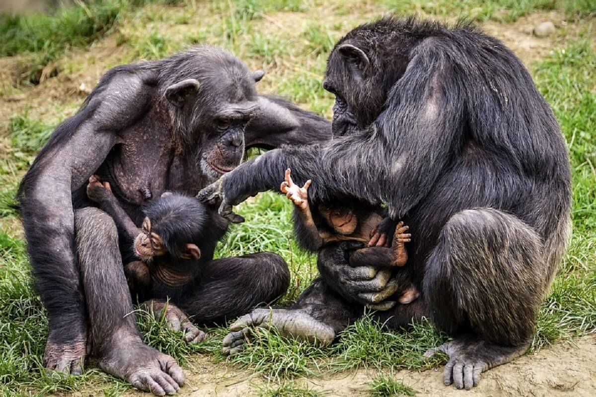 Dochters van invloedrijke chimpanseemoeders wonen langer thuis