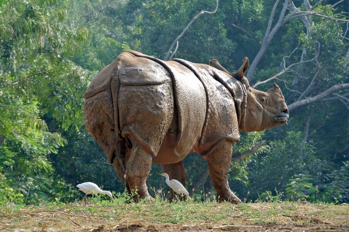 Indische neushoorn gestroopt