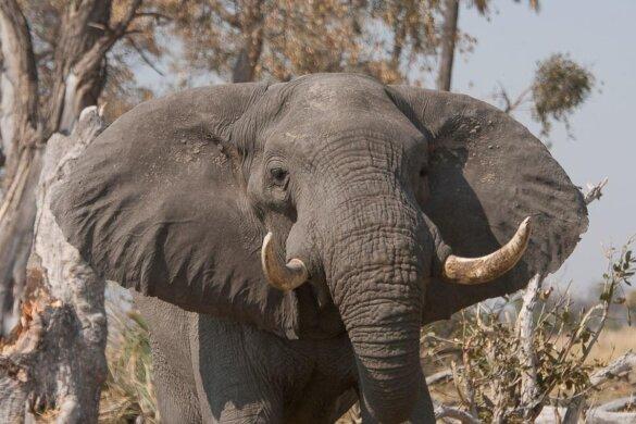 dode olifanten