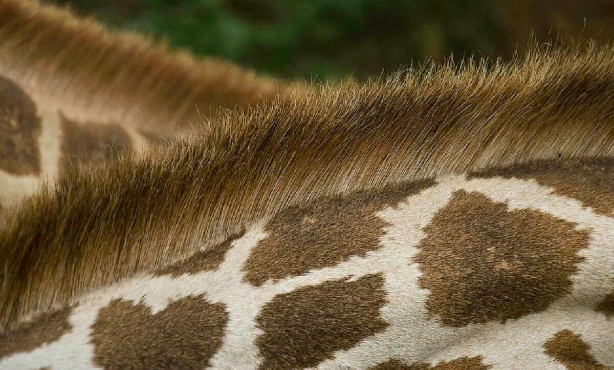 giraffennekken