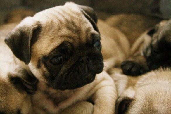 kortsnuitige honden