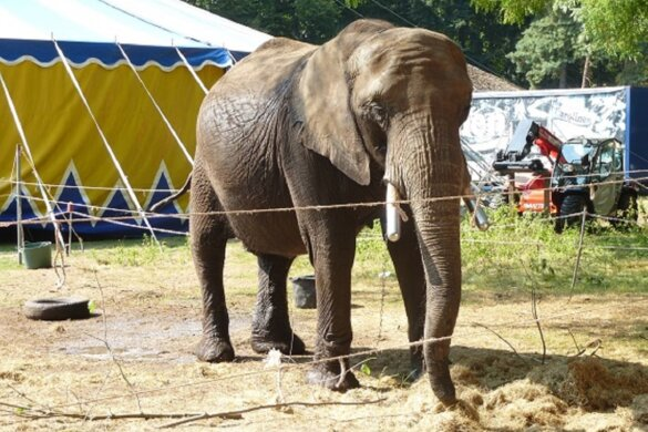 Olifant Buba bij circus Freiwald