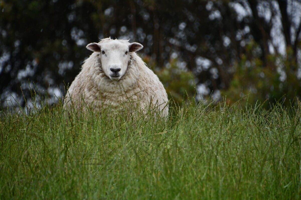 schapenleed