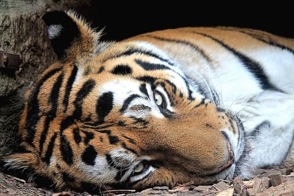 tijgerproducten