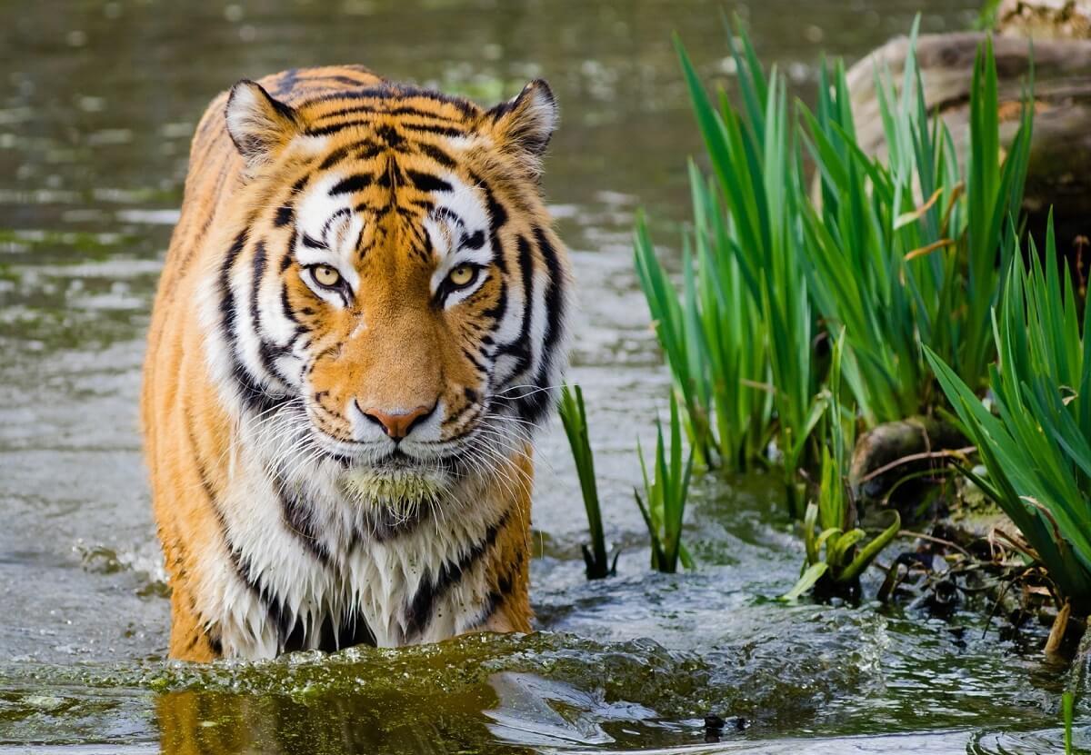 De EU moet de handel in tijgers en lichaamsdelen van tijgers verbieden